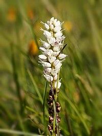 Bistorta vivipara (flowers).jpg