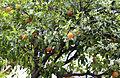 Bitter orange - Citrus aurantium 10.JPG