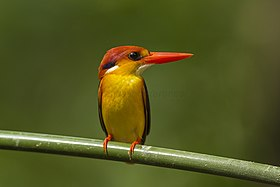 Black-backed Kingfisher - Si Phangnga - Thailand S4E4226 (14086482797).jpg