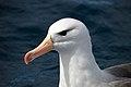 Black-browed Albatross (21618306695).jpg