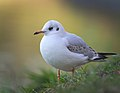 Black-headed gull (24138618757).jpg