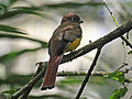 Black-throated Trogon female RWD.jpg