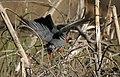 Black Bulbul- collecting nesting material I IMG 6665.jpg