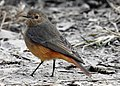 Black Redstart Phoenicurus ochruros female by Dr. Raju Kasambe DSCN1187 (17).jpg