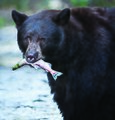 Black bear with fish (16255687636).jpg