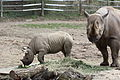 Black rhinoceros mother and calf at the Pittsburgh Zoo 05.jpg