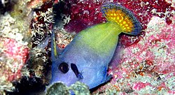 Blackbar filefish 001.jpg
