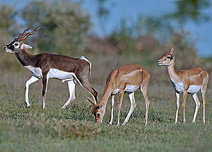 Black buck male and females At Nannaj Near Sol...