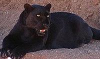 "A melanistic leopard, or ""black panther""."