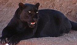 La panthère noire est en fait une variété de léopard