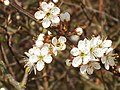 Blackthorn flowers on Otmoor - geograph.org.uk - 386655.jpg