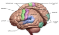 Blausen 0103 Brain Sensory&Motor ar.png