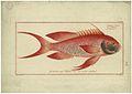 Bloch - Anthias sacer.jpg