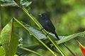 Blue-black Grosbeak - El Tapir - Costa Rica S4E0792 (26670638096).jpg