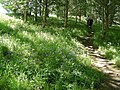 Blue Bells by the Palace - geograph.org.uk - 1345527.jpg