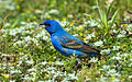 Blue Grosbeak (1).jpg