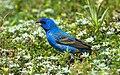 Blue Grosbeak (1).jpg