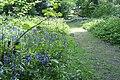 Bluebells - panoramio (3).jpg