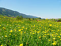 Blumenwiese bei Obermaiselstein05.jpg
