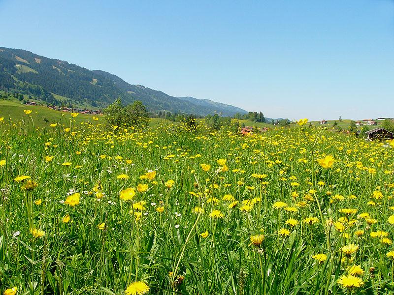 File:Blumenwiese bei Obermaiselstein05.jpg