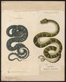 Boa canina - 1700-1880 - Print - Iconographia Zoologica - Special Collections University of Amsterdam - UBA01 IZ11900037.tif