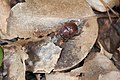 Bolbelasmus nativus (27219782193).jpg