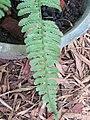 Bolbitis asplenifolia at Periya(2).jpg
