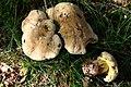 Boletus calopus 110921wa.JPG