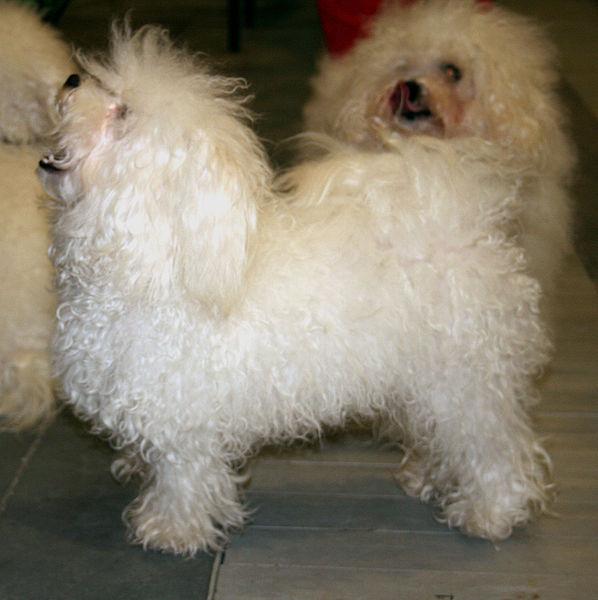 Bolognese small dog