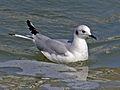 Bonaparte's Gull RWD3.jpg