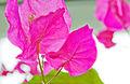 Bougainvillea plant.jpg