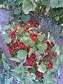 Brassicales - Tropaeolum majus 8 - 2011.08.07.jpg
