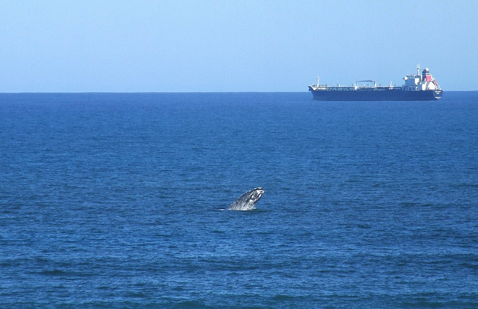 Breaching Southern Right whale with tanker (11341899566)