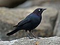 Brewer's Blackbird male RWD4.jpg