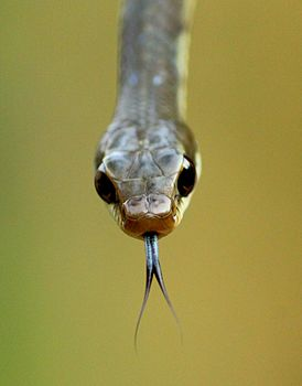 Bronzeback tree snake.jpg