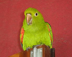 Brotogeris chrysoptera -pet perching on door-8a.jpg
