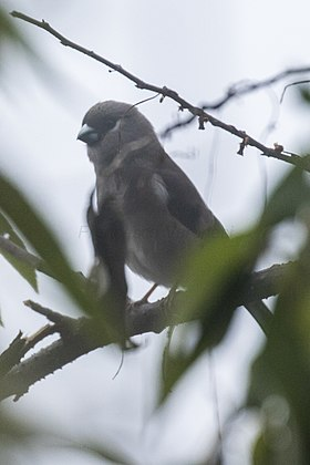 Brown Bullfinch - Eaglenest - India (33640500394).jpg