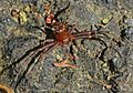 Brown Crab Spider - Xysticus sp., Huntley Meadows Park, Alexandria, Virginia.jpg