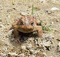 Brown Toad.jpg