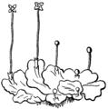 Bryophyta 2.png