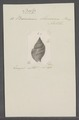 Buccinum olivaceum - - Print - Iconographia Zoologica - Special Collections University of Amsterdam - UBAINV0274 085 07 0010.tif
