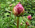 Buds of paeonia.jpg