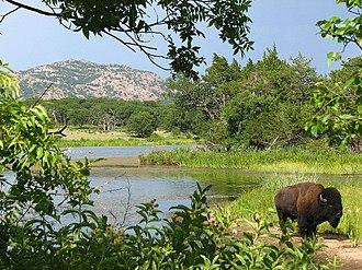Wichita Mountains Wildlife Refuge - Bison with vegetation around French Lake