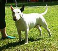 Bull Terrier white.JPG