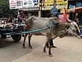 Bullock driven carriage vehicle, Bangalore.jpeg