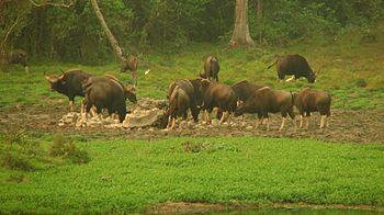Bunch of Bison.jpg