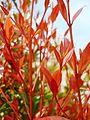 Bunga pucuk merah (60).JPG