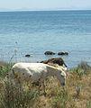 Burro blanco Asinara.jpg