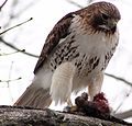 Buteo jamaicensis -near Philadelphia, Pennsylvania, USA -eating rabbit-8 (1).jpg
