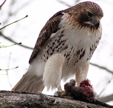 Near Philadelphia, Pennsylvania, USA a red-tailed hawk consumes a young Eastern cottontail Buteo jamaicensis -near Philadelphia, Pennsylvania, USA -eating rabbit-8 (1).jpg